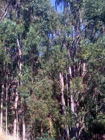 Berkeley Eucalyptus Manifestation Oneness
