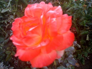 Orange Rose Stillness in Motion Manifestation