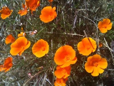Popy Field California Desert Bloom Closeuo