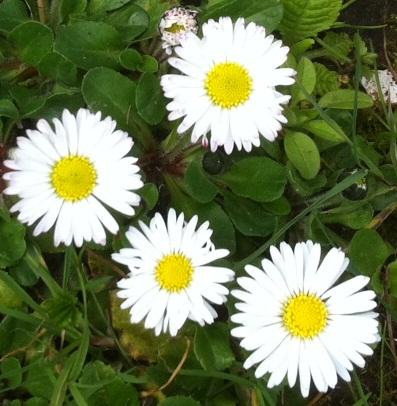 Spring Flowers Marguerites France