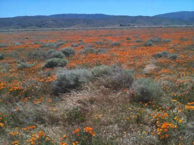 Popy Field California Desert Bloom