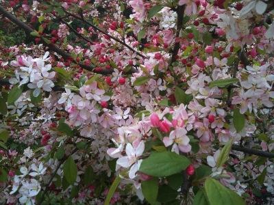 San Francisco Cherry Blossom