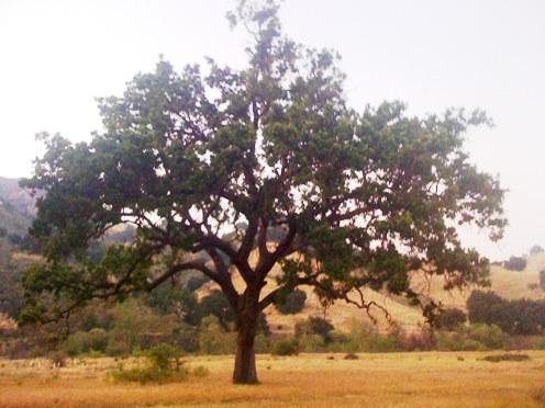 Malibu Creek Park Large Tree